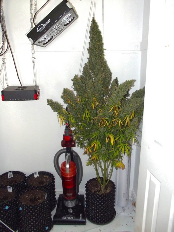 Autoultimate Grow Review Huge Cannabis Home Grow With Soil And Led regarding dimensions 768 X 1024
